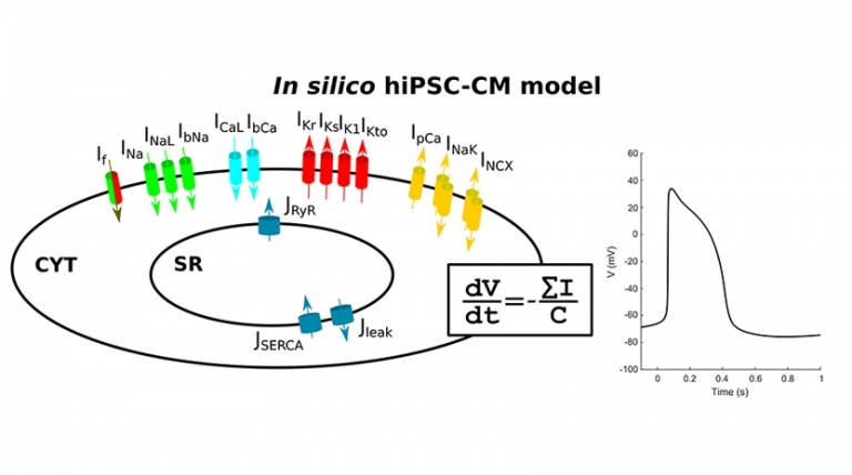 Modeling the electrical activity of human induced pluripotent stem cell-derived cardiomyocytes