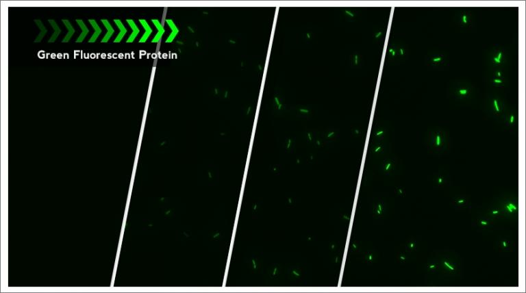 Quantification of fluorescent protein markers in single bacterial cell